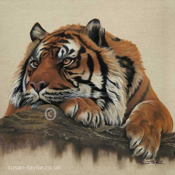portrait of a Sumatran tiger called Nias, oil on canvas 60cm square by Artist Susan Taylor