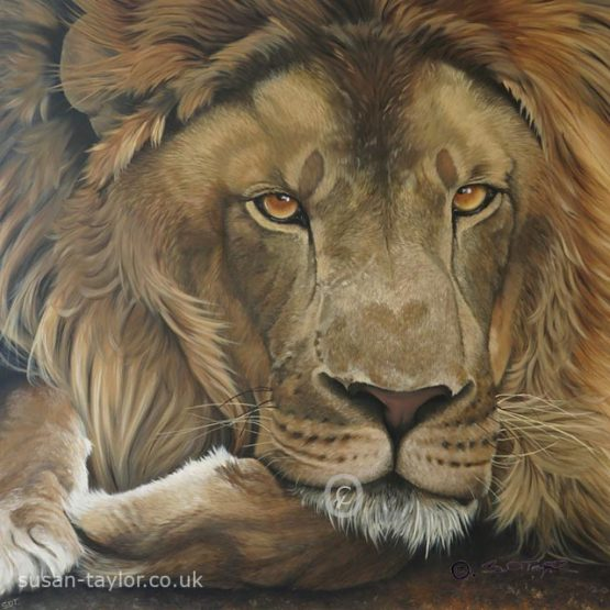 portarit of a lion, oil on canvas 1 metre square by artist susan Taylor