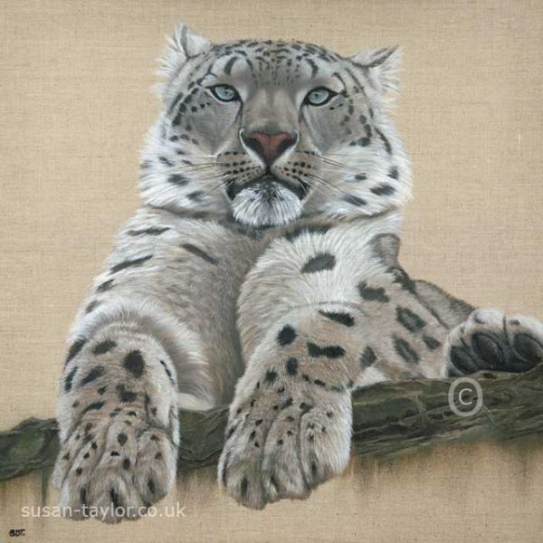 portrait of a snow leopard, oil on linen canvas 60cm square by artist Susan Taylor