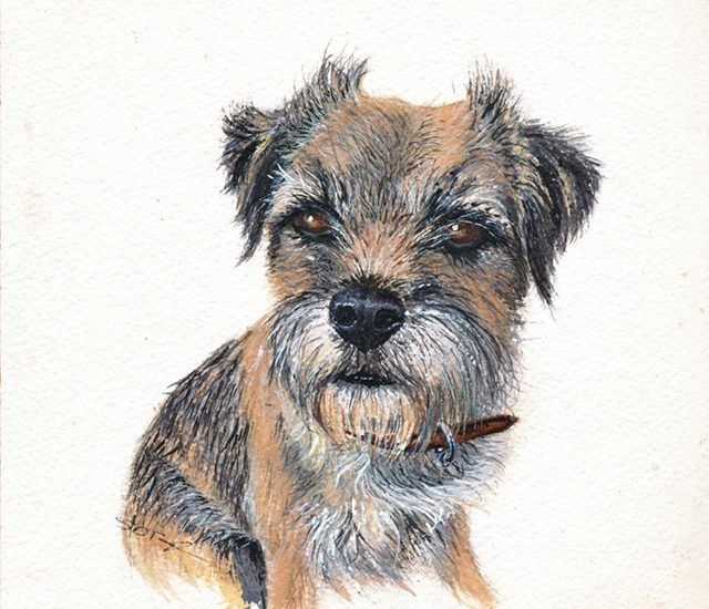 Portrait of Roxie the Border Terrier